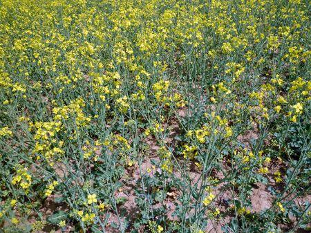 1. kép: repcetáblarészlet Zala megyéből. A növény ritkásan elágazó, nem takarja a talaj (2013. április 30.)