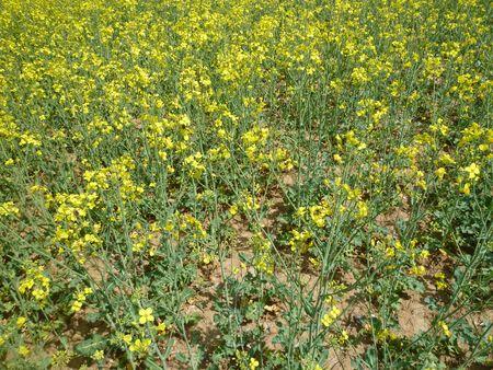 1. ábra. Repce tábla részlet Zala megyéből. A növény ritkásan elágazó, nem takarja a talaj.  2013. április 30.