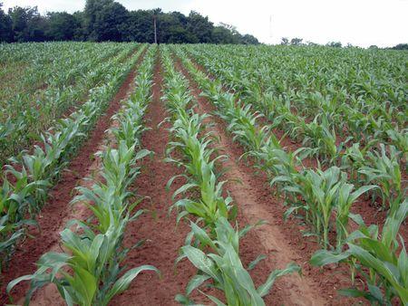 Kukorica preemergens precíziós gyomirtása  a talajtulajdonságok figyelembevételével