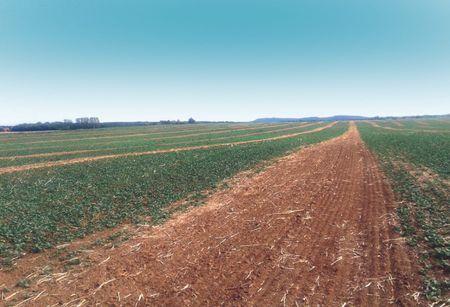 """""""Csíkozott"""" repce árvakelés. Az egyenletes árvakelés a legjobb  alapja az őszi gyomirtásnak, a művelőutakat pedig meglazították,  hogy javítsák a leginkább tömörödött talaj szerkezetét"""