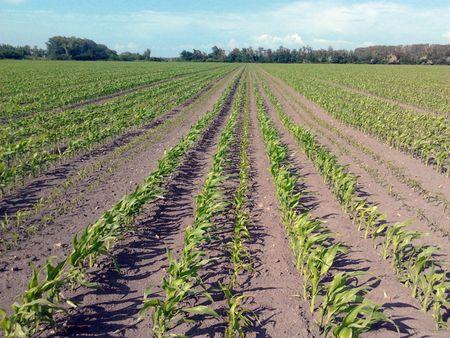 4. ábra: A Centerpoint RTX korrekciós jellel vetett vetőmag kukorica