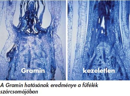 Gramin_hatas1