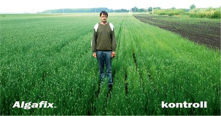 Az Algafix-el kezelt területen a növény zöldebb és szemlátomást fejlettebb.