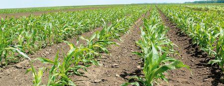 Tipikus gyomirtó szer stressztünet, amely akár 10 nappal is visszafoghatja a kukorica fejlődését. Az Algafix sűrítmény korai használatával az ilyen jellegű stressztünetek és az ebből adódó termésveszteség csökken.