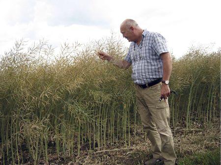 Jó termést ígér a Kartali Mezőgazdasági Szövetkezet Mikro-Vital kezelést kapott repcéje-mutatja Urbán Imre, a gazdaság igazgatóságának elnöke (A szerző felvétele)