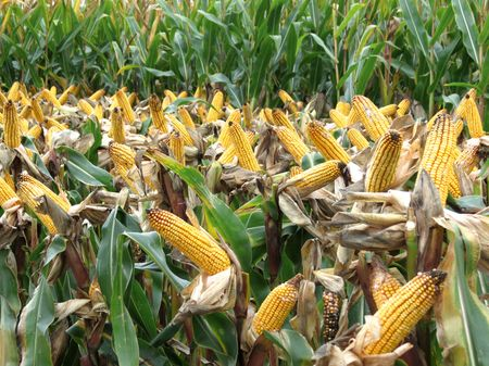 55.kukorica