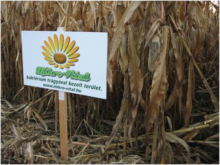 Az ikersoros kukorica szárcsonkjai a táblát tartó karótól balra