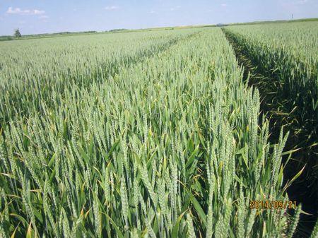 Egészséges, hosszan zöld, nagy termést adó állomány Csanádpalotán
