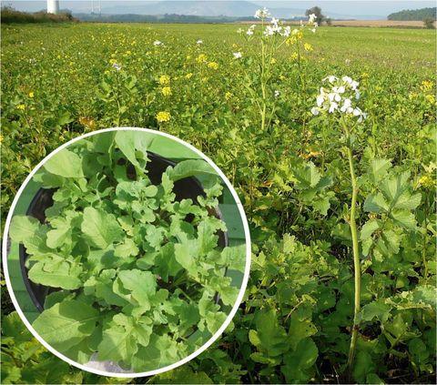Az olajretek és mustárból álló keverék gyorsan fejlődő, jó talajtakaró állományt alkot