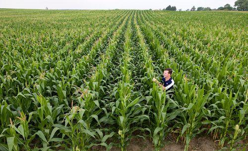 Syngenta bioüzemanyag vagy élelem