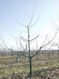 almafa metszés után