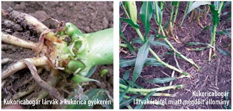 kukoricáját_syngenta_gyökér_1