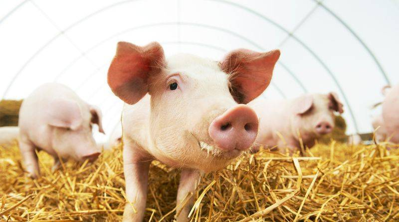 Fermented feed can replace zinc in pig feed - Agro Napló - A