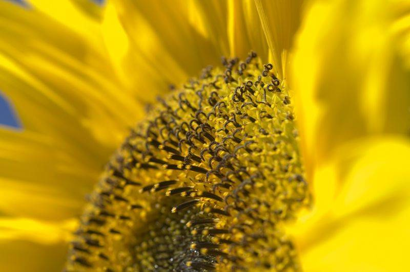 sunflower-yara