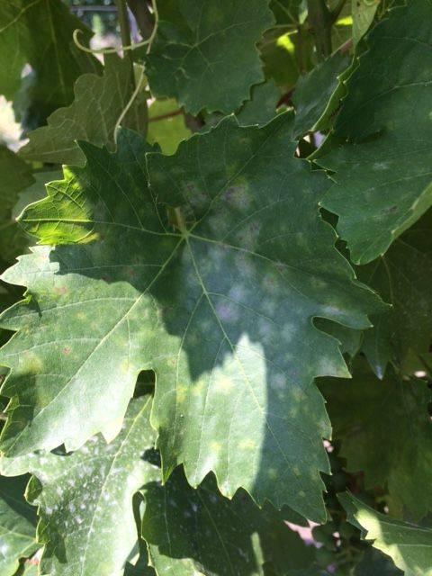demjén szőlő lisztharmat-levelen
