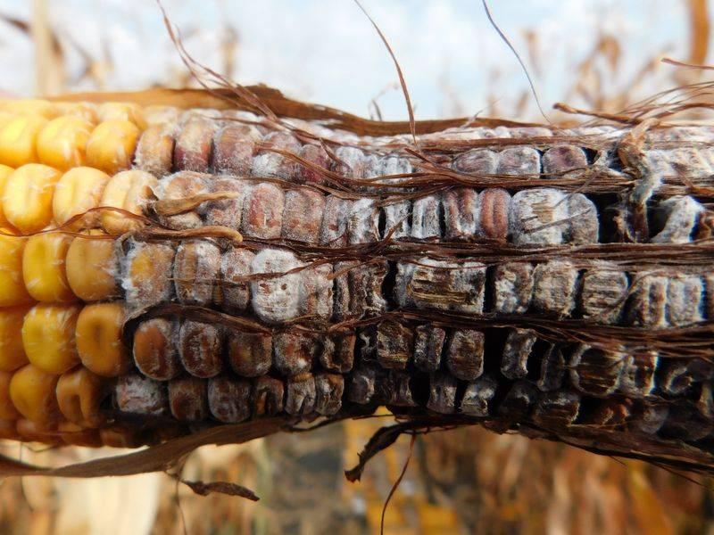 kukorica-dscn8295-k