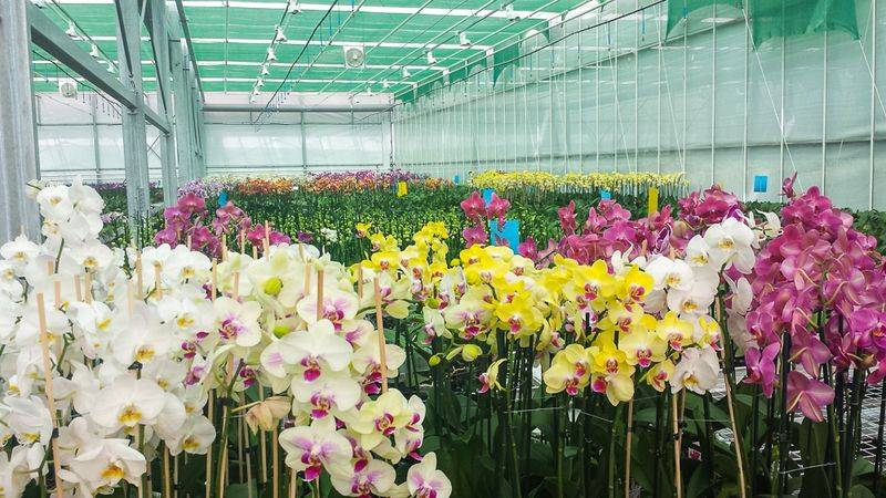 molnarek-orchidea-k