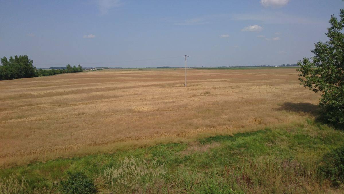 1. kép nagy széltippannal erősen fertőzött terület mezőkövesd és szentistván között 2016 június közepén-k