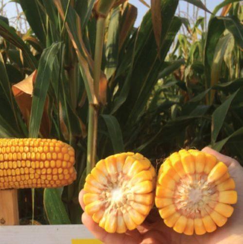 cuassade-kukorica-2019