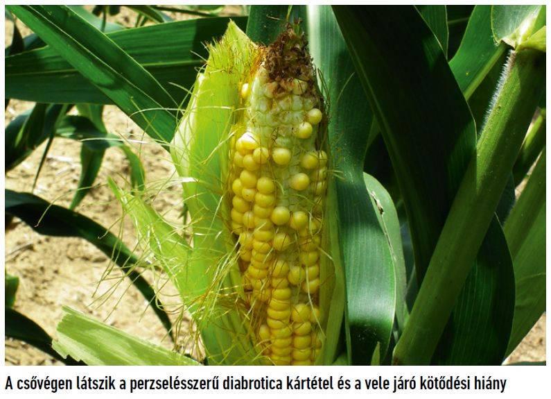 46-bayer-kukoricabogar-2