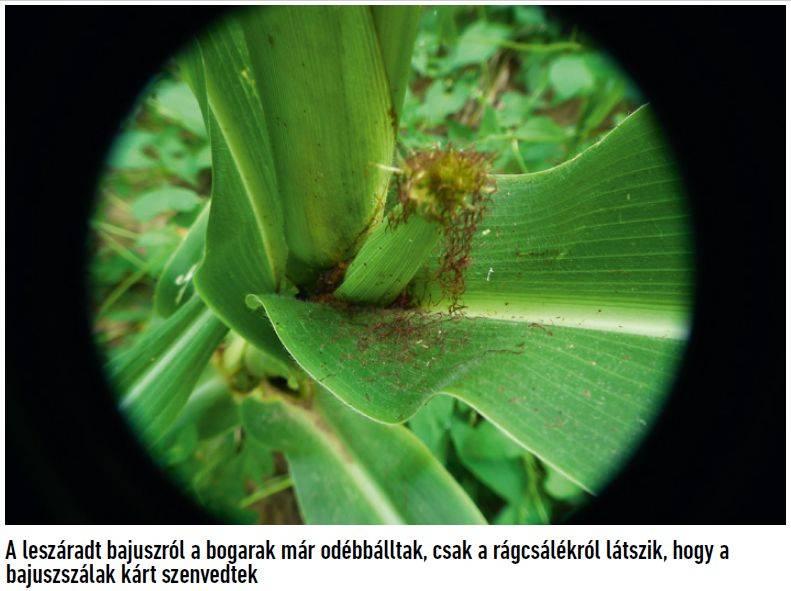46-bayer-kukoricabogar-4