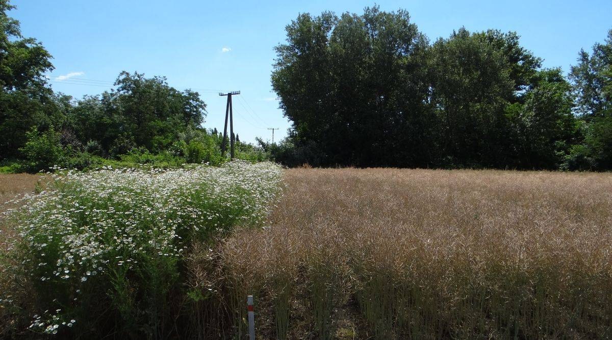 1. kép runway hatása ebszikfű ellen a kezelést követő évben-1200