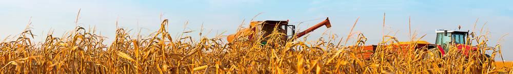 kukorica betakaritas