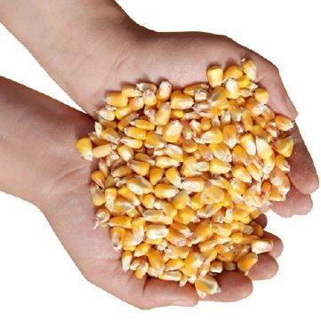 kukorica-tenyerben-k