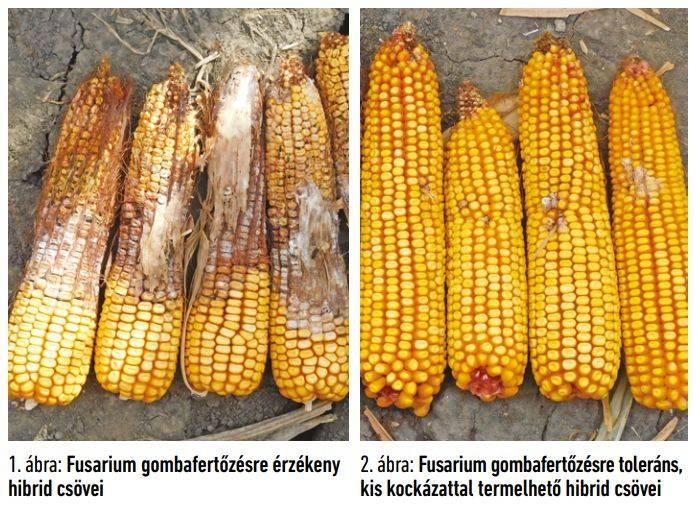 gk-kukorica-2020-fusarium