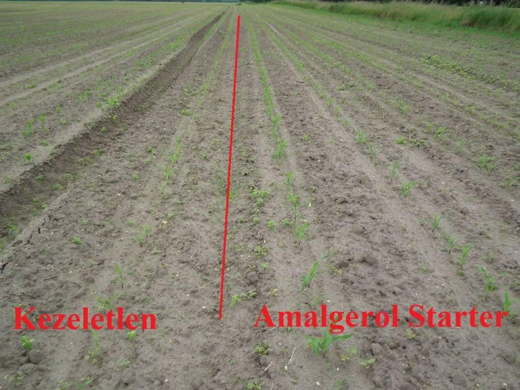 1. kép-amalgerol starter kukoricában