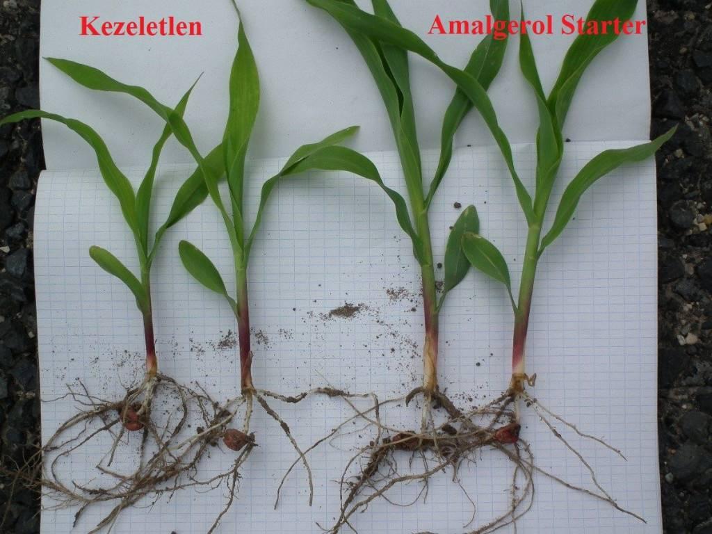 2. kép-az amalgerol starterrel kezelt kukorica fejlettebb
