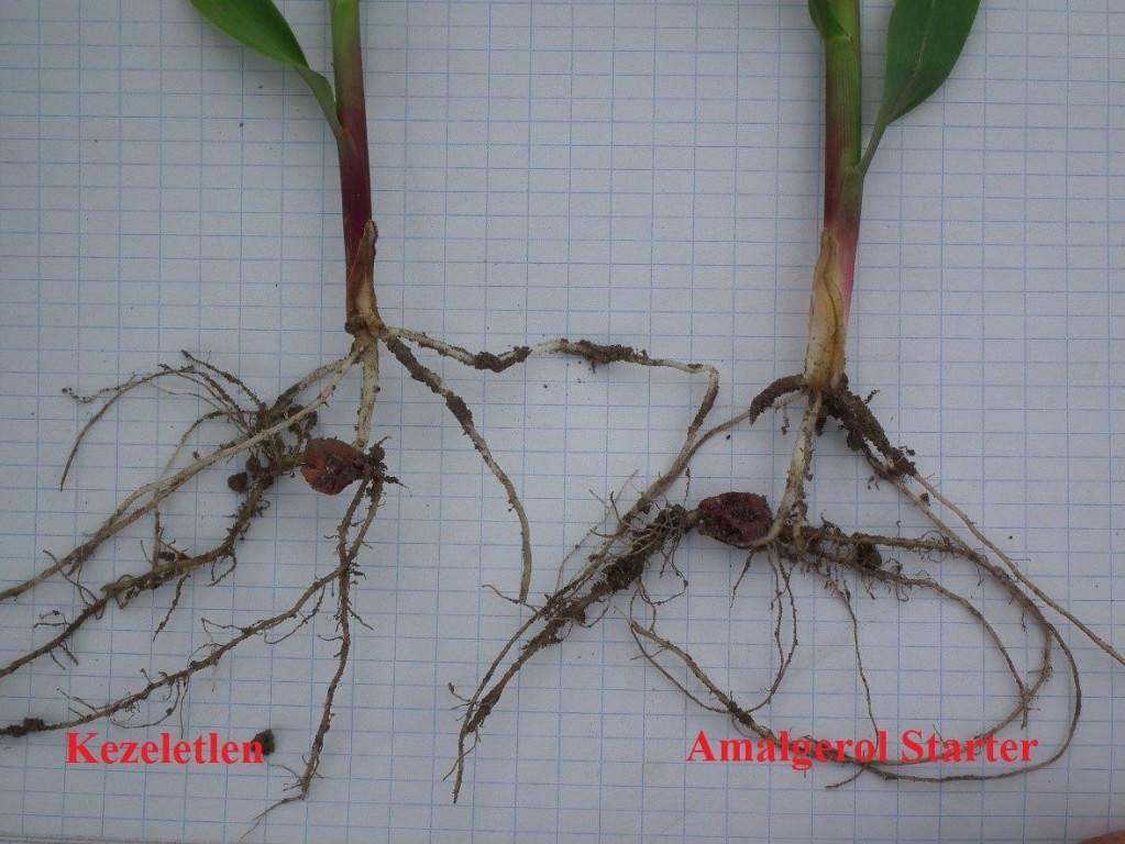 3. kép-az amalgerol starrel kezelt kukorica gyökere intenzívebben növekszik
