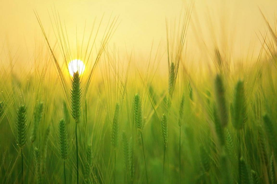 barley-field-1684052_1280-arpa
