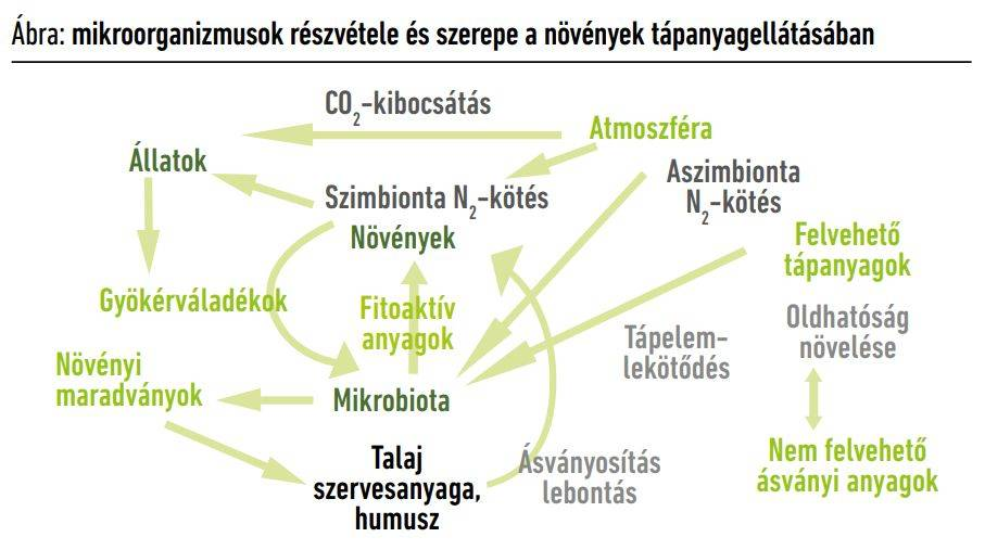 mikroorganizmusok-reszvetele-a-novenyek-tapanyagellatasaban