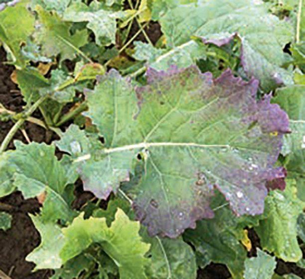 turnip yellows virus