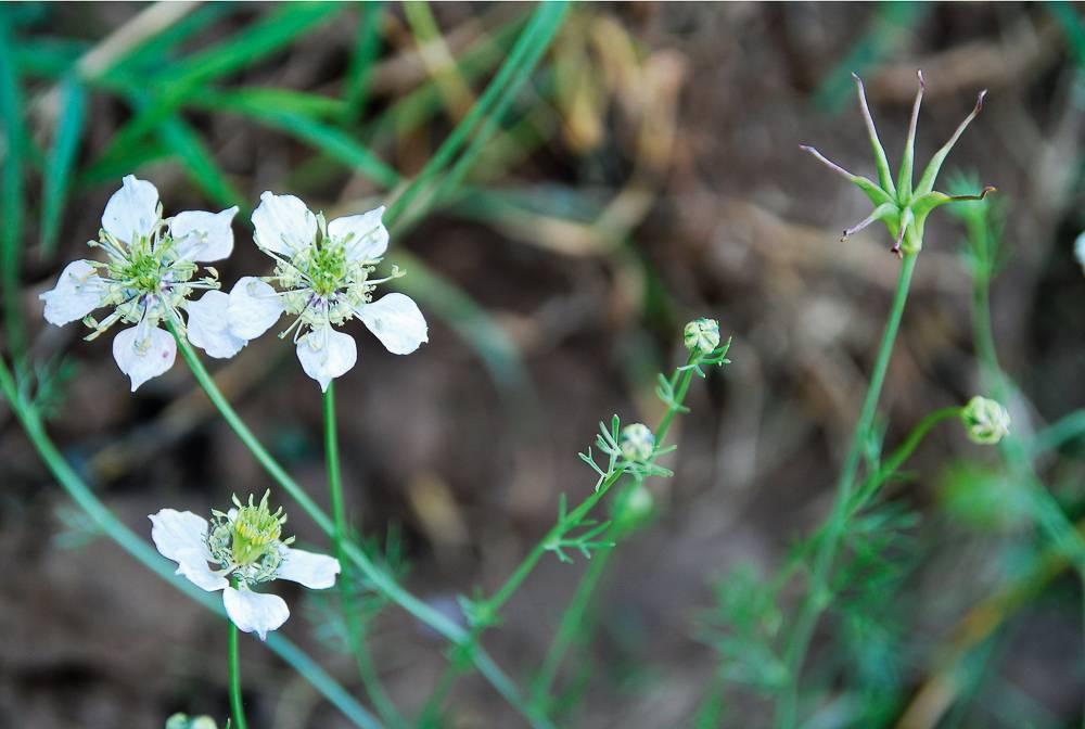 gyomnovenyek-202007-10. mezei katicavirág