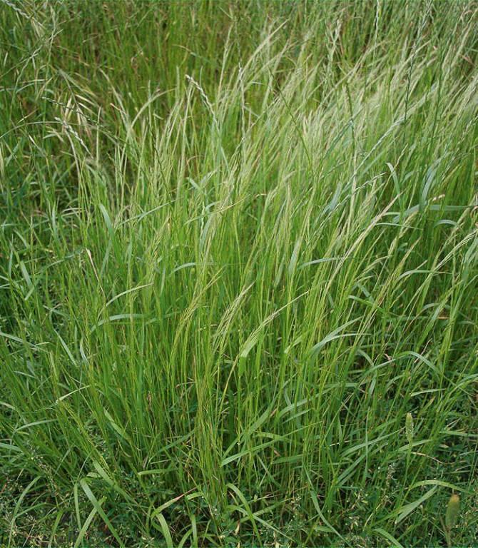 gyomkerdesek-10-2. ábra  a kifejlett növény általában 30-70 cm magas