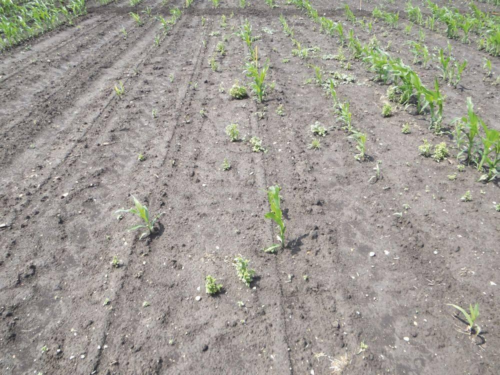 talajlakok-1-drótféreg kártétel kukoricában lucerna előveteményt követően msonoszolnok 2020 június 17