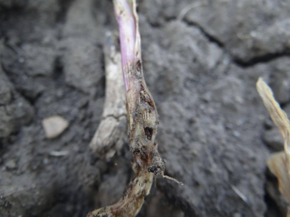 talajlakok-2-drótférgek által károsított kukorica növényke