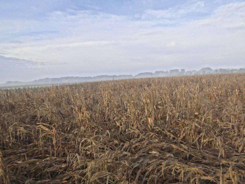 talajlakok-3-kukoricabogár lárva által károsodott kukorica betakarítás előtt komárom megye 2020