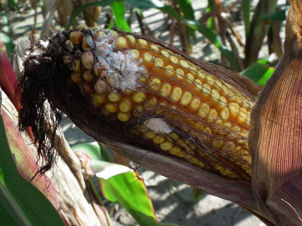 fuzárium kukorica csövön-k