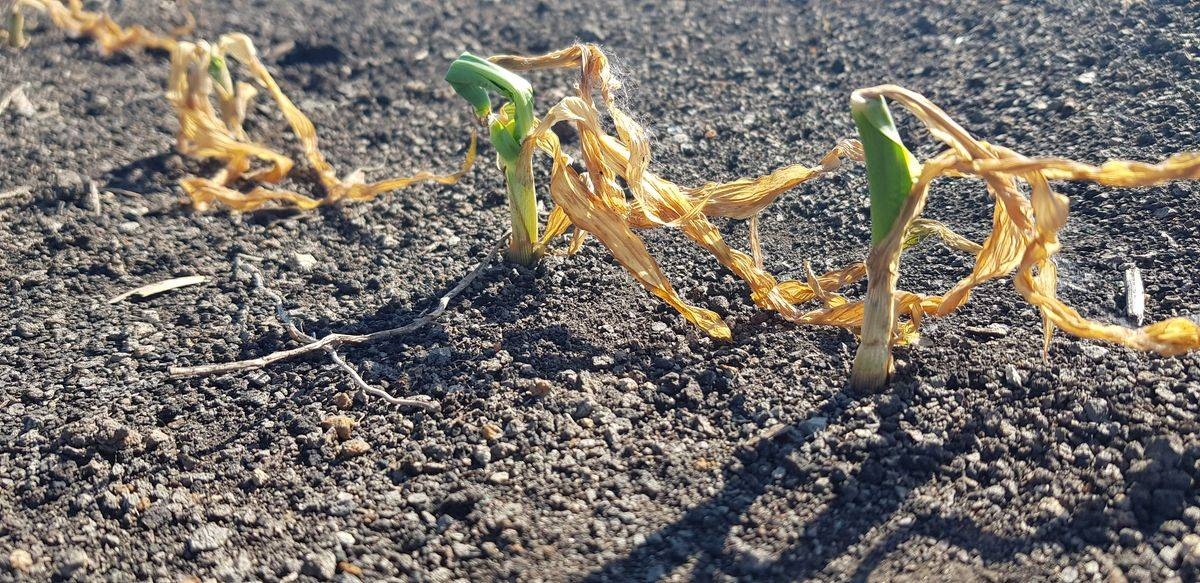 fagykáros kukorica 20200521-k