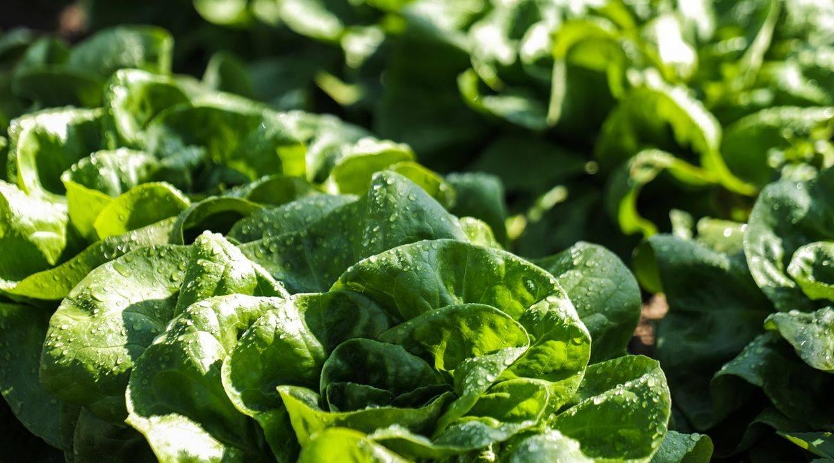 nak_már_van_hazai_zöldség_111-fejes-saláta